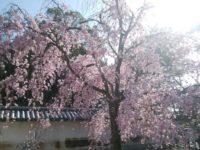 醍醐寺の桜、満開です!